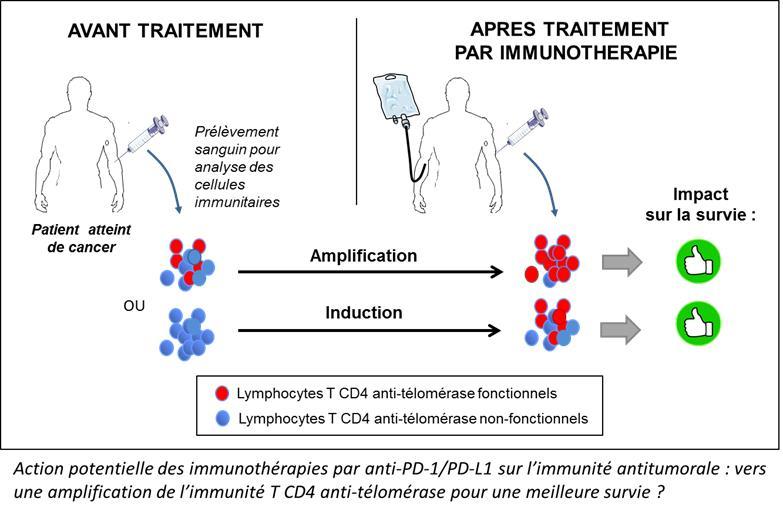 L'immunité T CD4 anti-télomérase: potentiel biomarqueur prédictif de l'efficacité des thérapies par anti-PD-1/PD-L1 et implications thérapeutiques. - Recherche contre le cancer