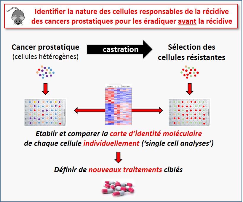 «Une nouvelle cible cellulaire dans le cancer prostatique résistant à la castration (CRPC)» - Recherche contre le cancer